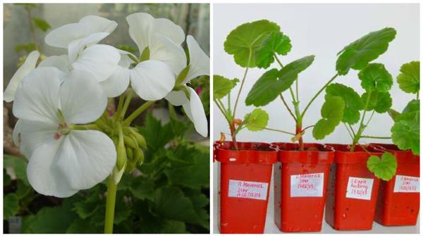 Справа красавица-пеларгония, слева закалка рассады, фото сайта glav-dacha.ru