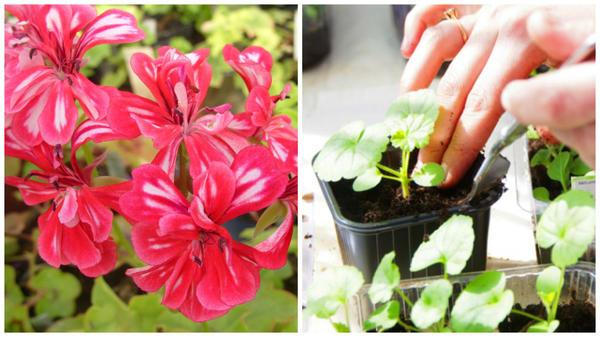 Слева цветет пеларгония, справа пикировка, фото сайта myorchidea.ru