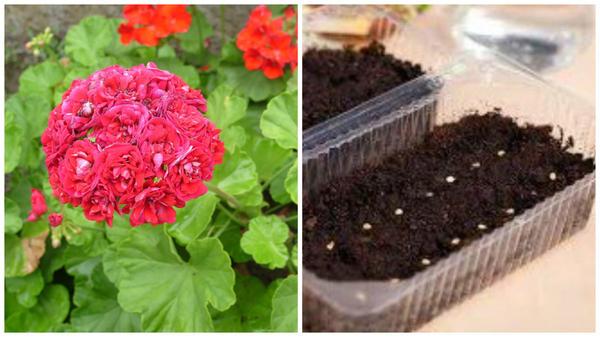Слева очередная красавица-пеларгония в моем объектива, справа посев семян пеларгонии, фото сайта glav-dacha.ru