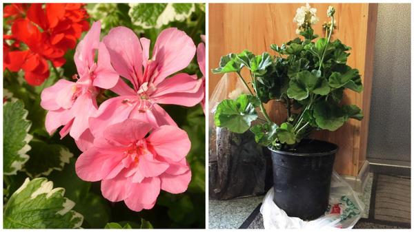 Слева - пеларгония еще цветет, перед заморозками пересаживаем в горшки и заносим в дом, фото сайта jflorist.ru