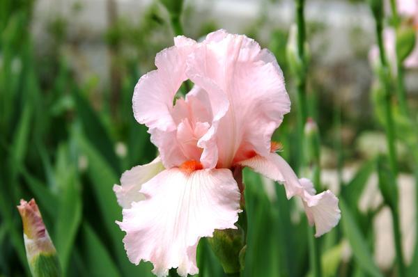 Ирис сорт Fragrant Lilac, фото автора