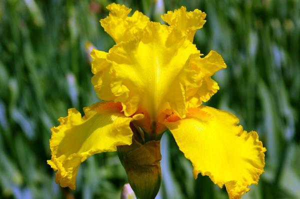 Одноцветный желтый ирис сорт Temple Gold, фото автора