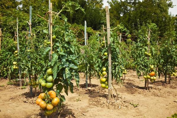 Окучивать томаты надо в момент роста корней