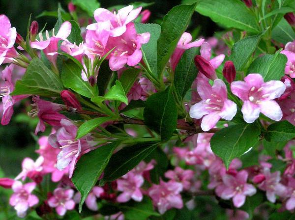 Вейгела цветущая Venusta, фото сайта sadik.tomsk.ru