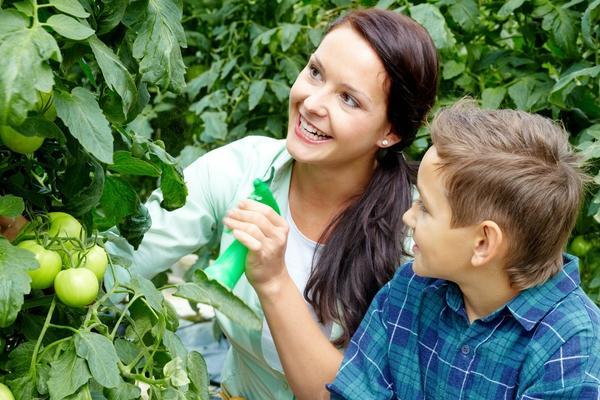 Чтобы повысить урожайность помидорных кустов, во время цветения второй и третьей цветочных кистей очень хорошо опрыскать растения слабым раствором борной кислоты