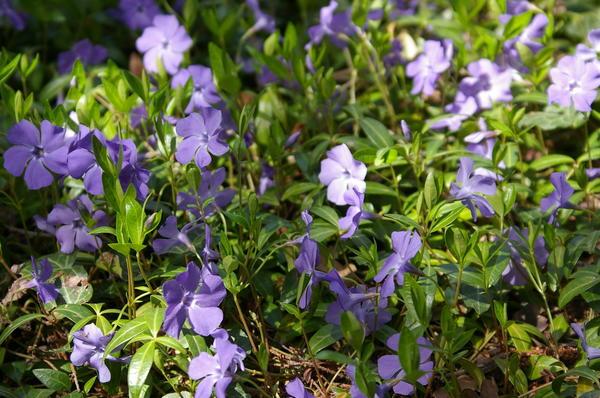 Барвинки - прекрасные почвопокровные растения для тенистых мест, фото автора