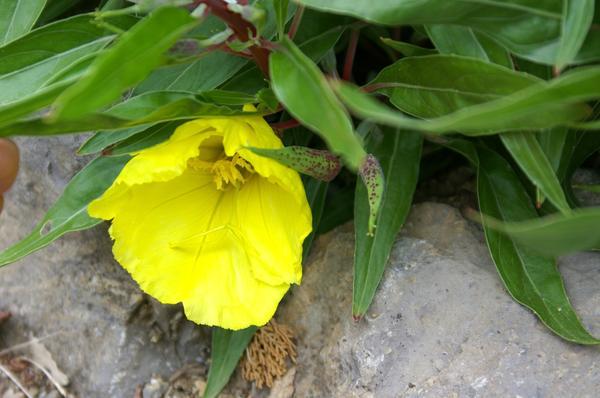 Цветки энотеры миссурийской чаруют нежным ароматом с цитрусовыми нотками, фото автора