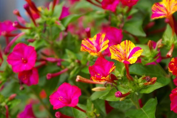 Легкий аромат апельсина с нотками пряностей источают цветки мирабилис