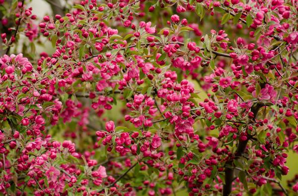 Невысокие декоративные яблоньки очень обильно цветут