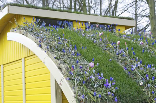 Весеннецветущие луковичные хорошо чувствуют себя на крыше. Фото с сайта derbigum.be