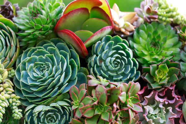 Суккуленты - идеальные претенденты для сада на крыше