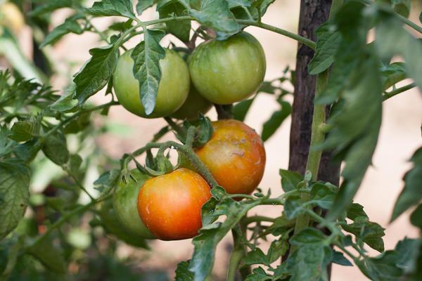 Как ускорить созревание зелёных томатов?