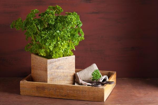 Для выращивания в комнате лучше использовать скороспелые листовые сорта