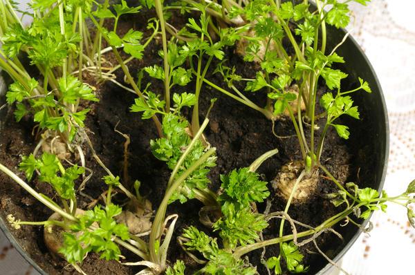 Для выгонки используют короткие корнеплоды, которые высаживают в контейнеры, горшки