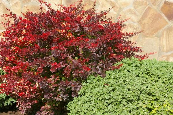 Краснолистный барбарис может стать участником сада в пурпурных тонах, фото автора
