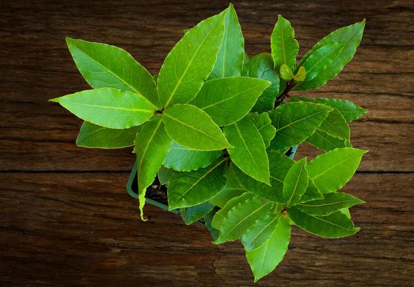 Лавр обыкновенный - идеальное растение для кухонного садика
