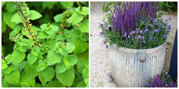 Мексиканский шалфей с синими цветками можно выращивать в садовых вазах, фото автора. Шалфеи в контейнере. Фото с сайта greeninfo.ru