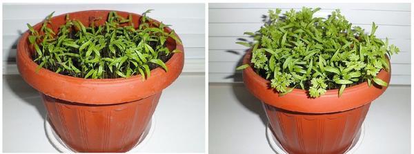 Слева - кервель спустя 2 недели после посева, справа - через 3 недели. Фото с сайта. yablochkini.ru
