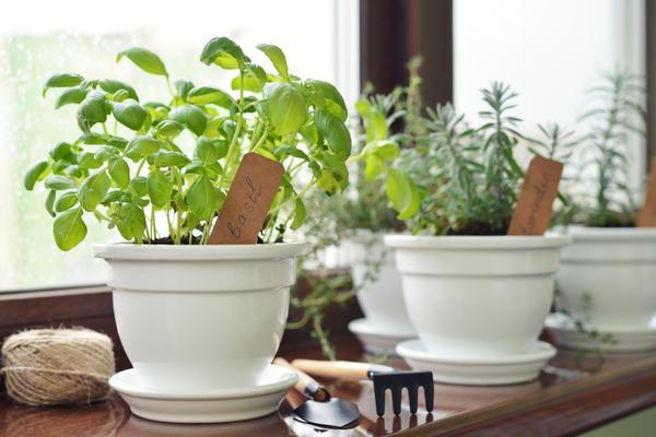 В теплом помещении, при умеренном поливе базилик развивается без проблем