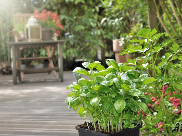 На лето базилик лучше переселить в сад