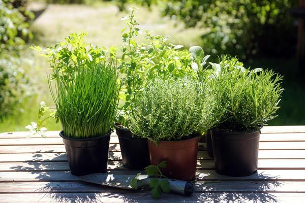 Горшечный кухонный садик летом можно переселить в сад