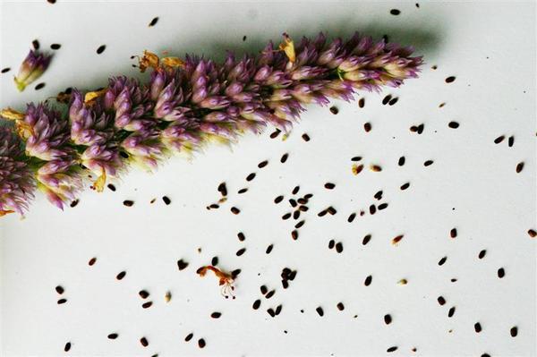 Семена иссопа. Фото с сайта nargil.ir