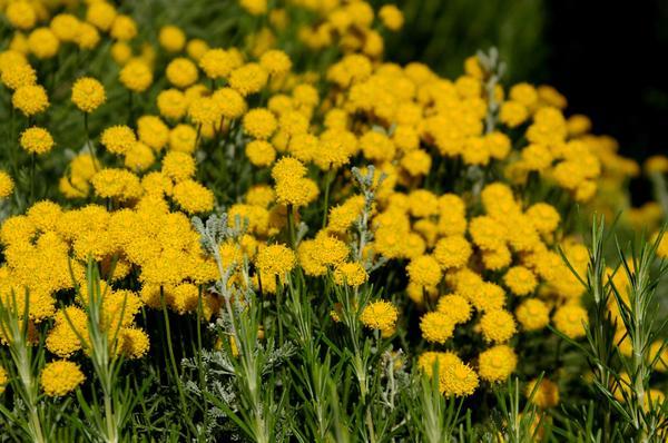 Сантолина с бальзамическим запахом пижмы, фото автора