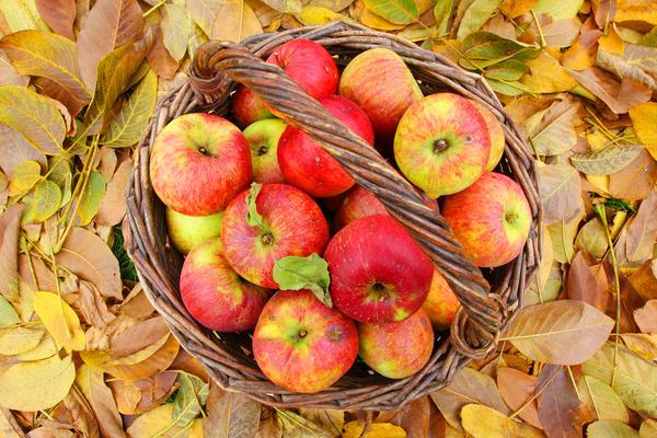 Перед хранение яблоки облучают ультрафиолетом