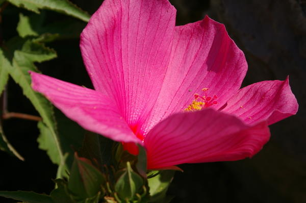 Не отвести взгляд от роскошного цветения гибискуса гибридного