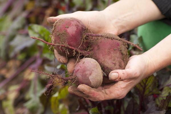 Собирайте свёклу правильно, тогда урожай сможет долго храниться