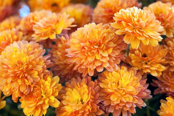 Хризантемы на осенних клумбах настолько хороши, что бессменно занимают самую верхушку цветочных хит-парадов
