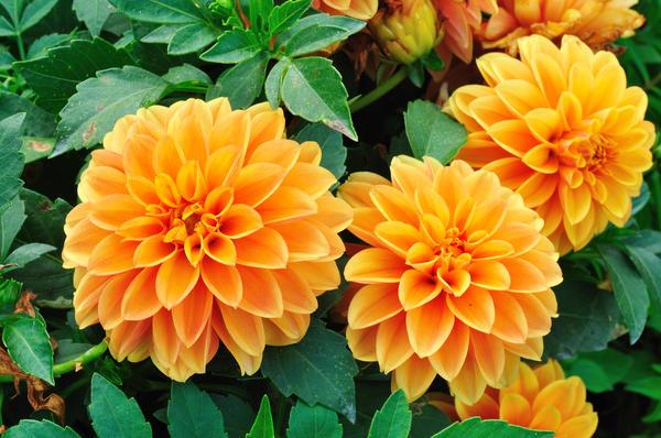 Георгины - одни из самых красивых и неприхотливых цветов