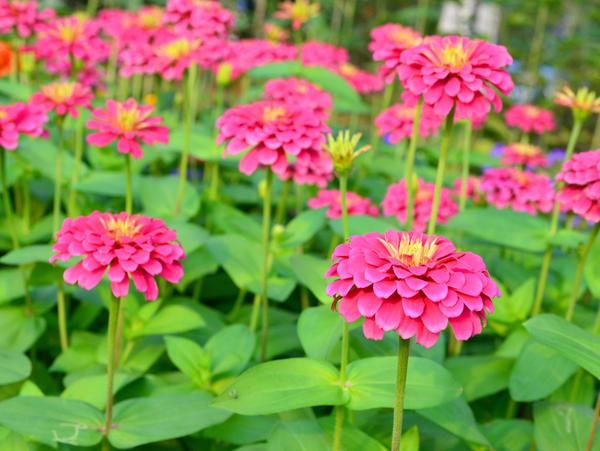 Цинния изящная - один из самых любимых садоводами декоративных красивоцветущих однолетников