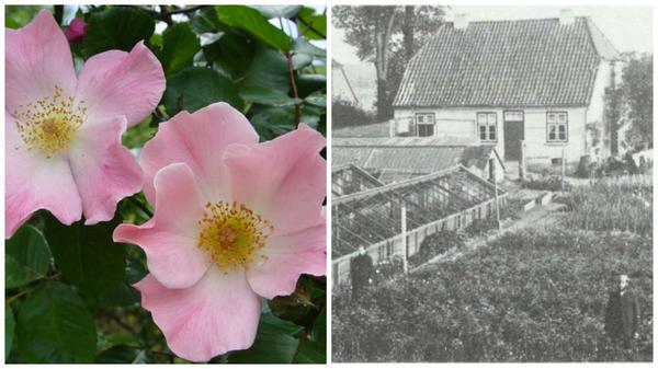 Роза сорт Sparrieshoop, фото с сайта rossroses.com.au. Хозяйство Кордеса в 1900 году, фото с сайта newflora.com