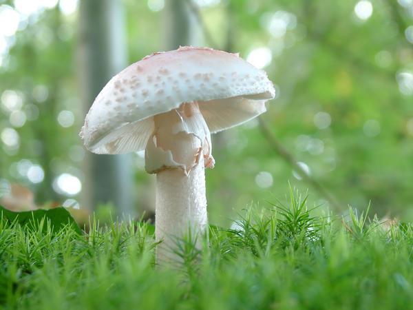 Мухомор весенний, или белый (Amanita verna)