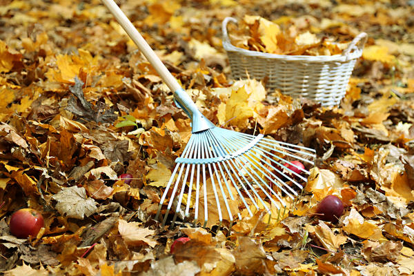 Начинать наводить порядок под деревом нужно с уборки листвы и падалицы