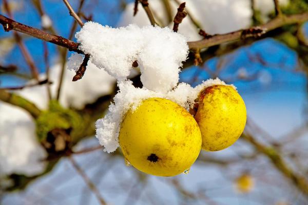Осенний уход за яблоней: а есть ли смысл?