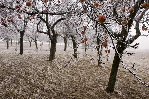 Готовить яблони к зиме нужно вовремя
