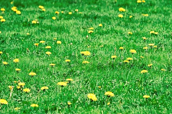 Ни один газон не обойдется без незваных гостей - одуванчиков