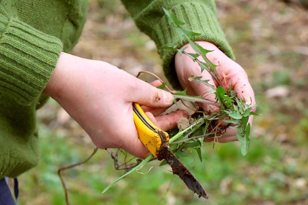 Удалять сорняки с корнем при помощи ножа - занятие не из приятных