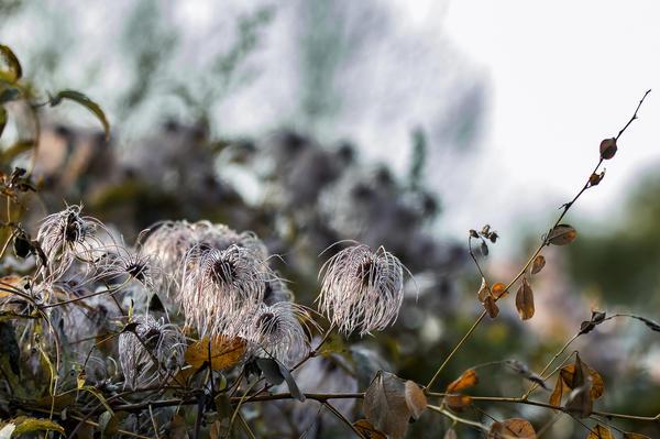 Клематисы укрывают в сухую погоду и только сухими материалами