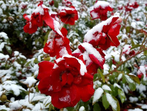 Теплолюбивые растения без укрытия могут не пережить зиму