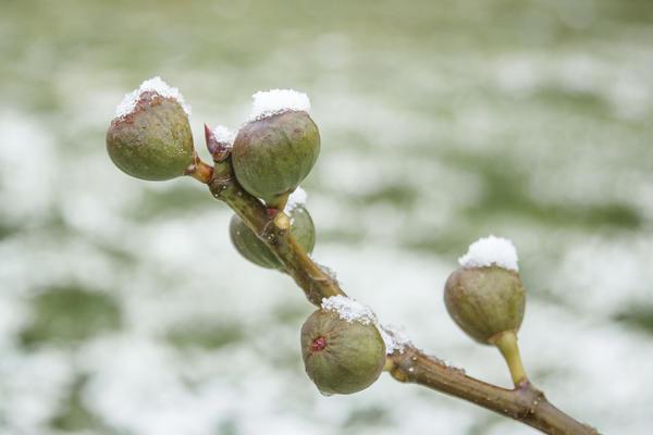 Даже в Краснодарском крае инжир без укрытия обмерзнет до земли