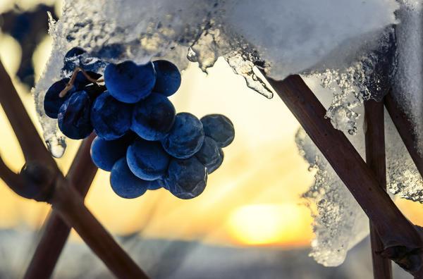 Большинство сортов винограда нужно укрывать