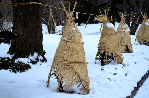 Хвойные культуры укрывают только в первые годы посадки