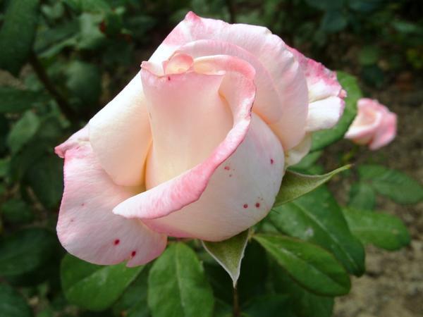 Чайно-гибридная роза сорт Anna, фото автора