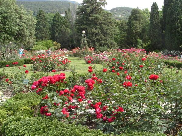 Ухоженные розы, фото автора