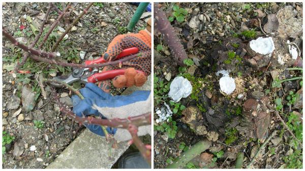 Месте срезов замазывают антисептической садовой краской, фото автора
