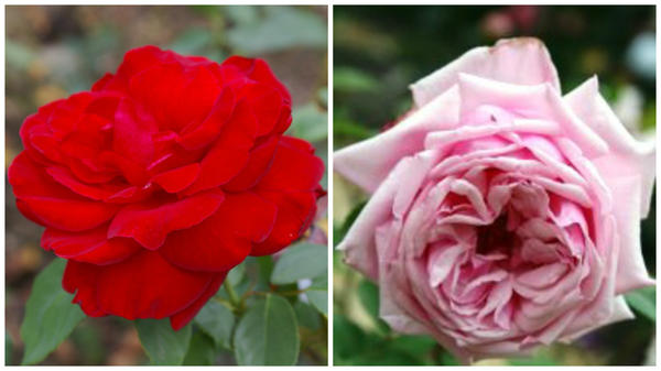 Современная красавица роза сорт Le Rouge et le Noir в моем объективе и родоначальница чайно-гибридных роз сорт La France, фото сайта frukta.ru