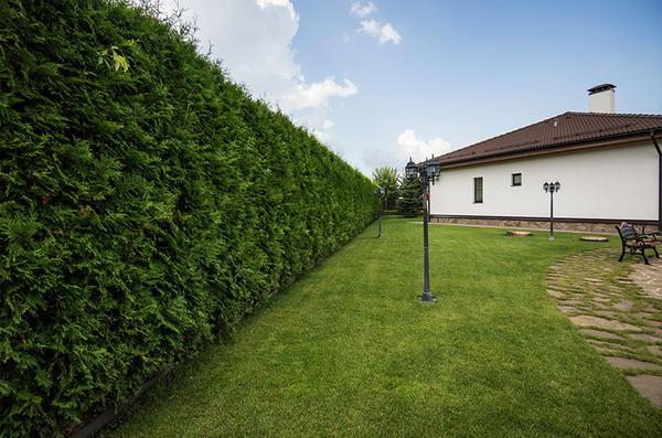 Заранее изучите особенности закладки хвойных изгородей. Фото с сайта svpark.ru